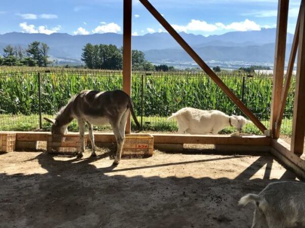 ロバ 山羊