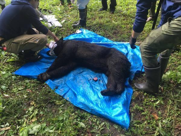 捕獲され麻酔で眠らされている熊