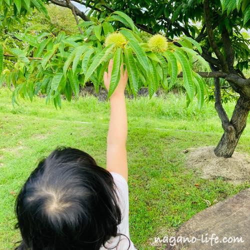 栗の木に手をのばす女の子